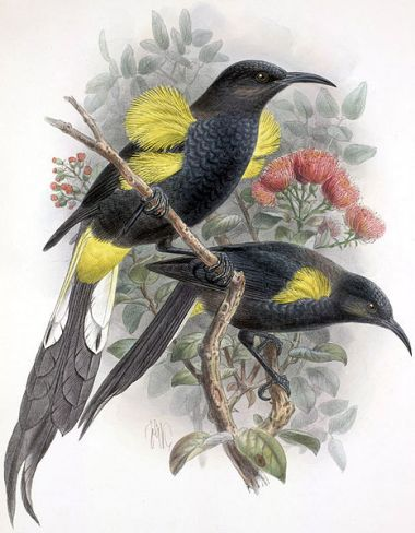 Moho nobilis, extinct. By John Gerrard Keulemans, 1842-1912. Copyright expired in the US. Wikimedia Commons.