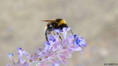Across Europe and North America bumblebees have lost ground to climate change.
