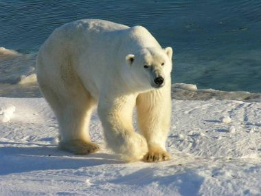Polar bear. Photo by Ansgar Walk. GNU Free Documentation License. Wikimedia Commons.