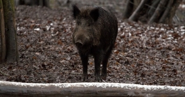 One possible beneficiary of climate change is a boar. Photo: pixabay