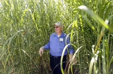 The University of Iowa and Iowa State University are partnering to grow giant Miscanthus. (Jim Slosiarek/The Gazette)