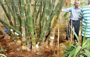 A bamboo plantation in India