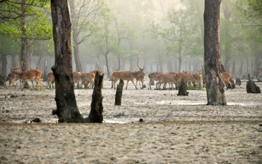 Chital deer emerge from the mists of the Sundarbans. Photo by Fabian Lambeck via Wikimedia Commons (CC 4.0)