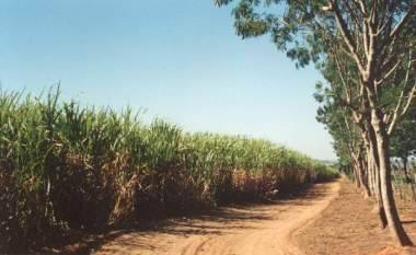 Ecologically grown sugarcane in Brazil. Photo by A. F. Yersin. CC BY-SA 3.0. Wikimedia Commons.