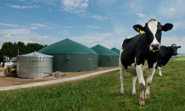 From cow pat to biogas at the anaerobic digestion plant at Wyke Farms in Somerset. Photograph: John Morley