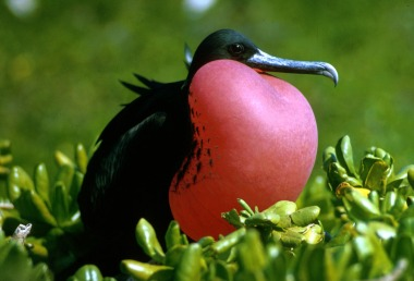 Frigate bird of the Galapagos. US Fish and Wildlife Photo. Public domain. Wikimedia Commons.