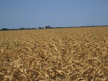 Maize in a drought in Texas. Photo by Billy Hathorn. CC BY-SA 3.0. Wikimedia Commons.