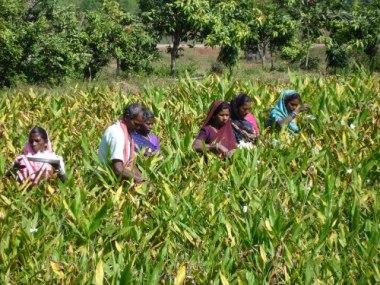 Farming in Chhattisgarh. Photo by Pankaj Oudhia. CC BY-SA 3.0. Wikimedia Commons.