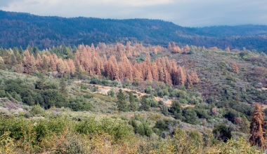Tree Mortality in California. Photo Credit: CAL FIRE