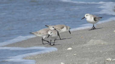 As many as 40,000 to 50,000 sanderlings have been seen at one time at the proposed site. (Submitted by Trevor Herriot)