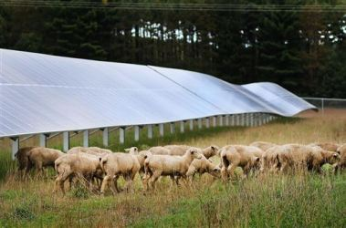 Lambs graze among solar panels (Staff photo by Marisa Wojcik)