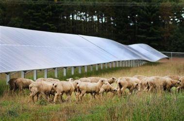 Lambs graze among solar panels (Staff photo by Marisa Wojcik)