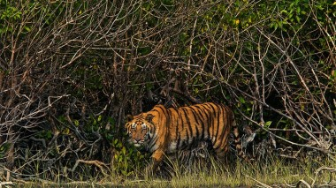 Sundarbans mangroves, a home for Bengal tigers  (Photo: MN Gaurav / Commons)