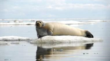 Alaskan seal (NOAA image)