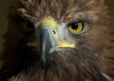 Golden Eagle (Image: Darren Danks)
