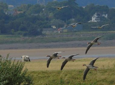 Migrating birds that depend on the Severn Estuary