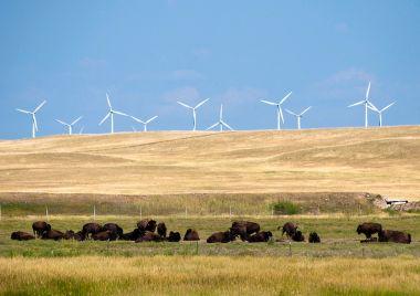 Wind turbines and buffalo  (Photo by CGP Grey, CC BY SA, Wikimedia Commons)