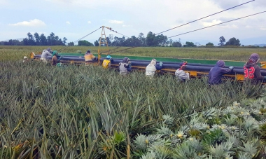 Del Monte's pineapple plantation