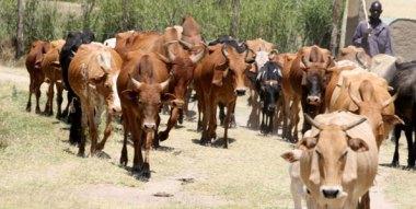 Livestock in Kenya