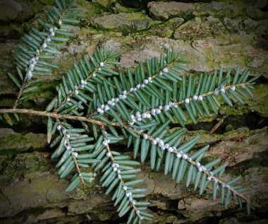 Evidence of hemlock woolly adelgids  (Photo by Nicholas A. Tonelli, CC BY SA, Wikimedia Commons)