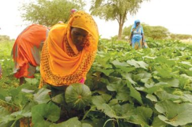 Women pick pumpkins in Albaida village in Sudan's North Kordofan state.