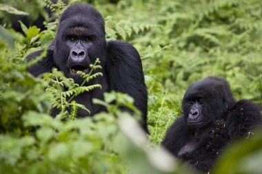 Mountain gorillas are among the most  affected (Brent Stirton / Getty images)